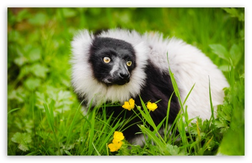 Ruffed Lemur Habitat ❤ 4K UHD Wallpaper for Wide 16:10 5:3 Widescreen WHXGA WQXGA WUXGA WXGA WGA ; UltraWide 21:9 24:10 ; 4K UHD 16:9 Ultra High Definition 2160p 1440p 1080p 900p 720p ; UHD 16:9 2160p 1440p 1080p 900p 720p ; Standard 4:3 5:4 3:2 Fullscreen UXGA XGA SVGA QSXGA SXGA DVGA HVGA HQVGA ( Apple PowerBook G4 iPhone 4 3G 3GS iPod Touch ) ; Smartphone 16:9 3:2 5:3 2160p 1440p 1080p 900p 720p DVGA HVGA HQVGA ( Apple PowerBook G4 iPhone 4 3G 3GS iPod Touch ) WGA ; Tablet 1:1 ; iPad 1/2/Mini ; Mobile 4:3 5:3 3:2 16:9 5:4 - UXGA XGA SVGA WGA DVGA HVGA HQVGA ( Apple PowerBook G4 iPhone 4 3G 3GS iPod Touch ) 2160p 1440p 1080p 900p 720p QSXGA SXGA ;