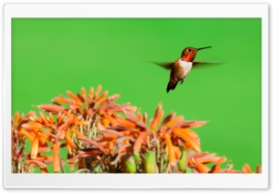 Rufous Hummingbird, Aloe Flowers HD Wide Wallpaper for Widescreen