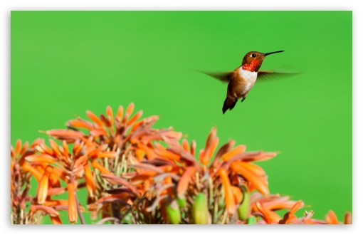 Rufous Hummingbird, Aloe Flowers UltraHD Wallpaper for Wide 16:10 5:3 Widescreen WHXGA WQXGA WUXGA WXGA WGA ; 8K UHD TV 16:9 Ultra High Definition 2160p 1440p 1080p 900p 720p ; Standard 4:3 5:4 3:2 Fullscreen UXGA XGA SVGA QSXGA SXGA DVGA HVGA HQVGA ( Apple PowerBook G4 iPhone 4 3G 3GS iPod Touch ) ; Smartphone 16:9 3:2 5:3 2160p 1440p 1080p 900p 720p DVGA HVGA HQVGA ( Apple PowerBook G4 iPhone 4 3G 3GS iPod Touch ) WGA ; Tablet 1:1 ; iPad 1/2/Mini ; Mobile 4:3 5:3 3:2 16:9 5:4 - UXGA XGA SVGA WGA DVGA HVGA HQVGA ( Apple PowerBook G4 iPhone 4 3G 3GS iPod Touch ) 2160p 1440p 1080p 900p 720p QSXGA SXGA ;