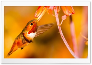Rufous Hummingbird Feeding from an Aloe Flower Ultra HD Wallpaper for 4K UHD Widescreen desktop, tablet & smartphone