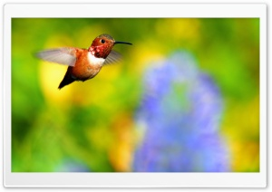 Rufous Hummingbird Flying HD Wide Wallpaper for 4K UHD Widescreen desktop & smartphone