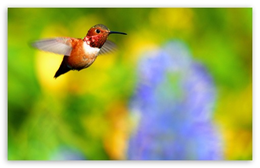 Rufous Hummingbird Flying UltraHD Wallpaper for Wide 16:10 5:3 Widescreen WHXGA WQXGA WUXGA WXGA WGA ; 8K UHD TV 16:9 Ultra High Definition 2160p 1440p 1080p 900p 720p ; Standard 4:3 5:4 3:2 Fullscreen UXGA XGA SVGA QSXGA SXGA DVGA HVGA HQVGA ( Apple PowerBook G4 iPhone 4 3G 3GS iPod Touch ) ; Smartphone 16:9 3:2 5:3 2160p 1440p 1080p 900p 720p DVGA HVGA HQVGA ( Apple PowerBook G4 iPhone 4 3G 3GS iPod Touch ) WGA ; Tablet 1:1 ; iPad 1/2/Mini ; Mobile 4:3 5:3 3:2 16:9 5:4 - UXGA XGA SVGA WGA DVGA HVGA HQVGA ( Apple PowerBook G4 iPhone 4 3G 3GS iPod Touch ) 2160p 1440p 1080p 900p 720p QSXGA SXGA ;