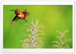 Rufous Hummingbird Male HD Wide Wallpaper for Widescreen