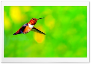Rufous Hummingbird Male Hovering in Mid air HD Wide Wallpaper for Widescreen