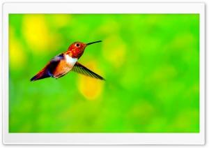 Rufous Hummingbird Male...