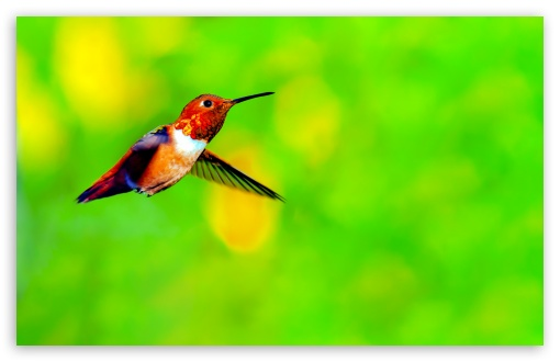 Rufous Hummingbird Male Hovering in Mid air ❤ 4K UHD Wallpaper for Wide 16:10 5:3 Widescreen WHXGA WQXGA WUXGA WXGA WGA ; 4K UHD 16:9 Ultra High Definition 2160p 1440p 1080p 900p 720p ; Standard 4:3 5:4 3:2 Fullscreen UXGA XGA SVGA QSXGA SXGA DVGA HVGA HQVGA ( Apple PowerBook G4 iPhone 4 3G 3GS iPod Touch ) ; Smartphone 16:9 3:2 5:3 2160p 1440p 1080p 900p 720p DVGA HVGA HQVGA ( Apple PowerBook G4 iPhone 4 3G 3GS iPod Touch ) WGA ; Tablet 1:1 ; iPad 1/2/Mini ; Mobile 4:3 5:3 3:2 16:9 5:4 - UXGA XGA SVGA WGA DVGA HVGA HQVGA ( Apple PowerBook G4 iPhone 4 3G 3GS iPod Touch ) 2160p 1440p 1080p 900p 720p QSXGA SXGA ;