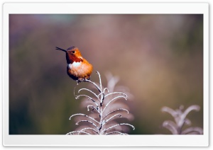 Rufous Hummingbird Perched on a Twig HD Wide Wallpaper for Widescreen