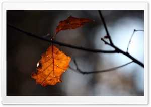 Rust Colored Leaf, Bokeh HD Wide Wallpaper for Widescreen