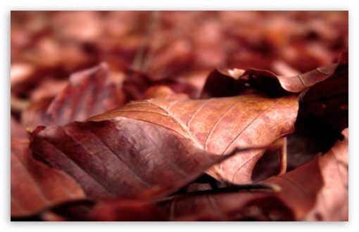 Rust Colored Leaves HD wallpaper for Wide 16:10 5:3 Widescreen WHXGA WQXGA WUXGA WXGA WGA ; HD 16:9 High Definition WQHD QWXGA 1080p 900p 720p QHD nHD ; Standard 4:3 5:4 3:2 Fullscreen UXGA XGA SVGA QSXGA SXGA DVGA HVGA HQVGA devices ( Apple PowerBook G4 iPhone 4 3G 3GS iPod Touch ) ; iPad 1/2/Mini ; Mobile 4:3 5:3 3:2 16:9 5:4 - UXGA XGA SVGA WGA DVGA HVGA HQVGA devices ( Apple PowerBook G4 iPhone 4 3G 3GS iPod Touch ) WQHD QWXGA 1080p 900p 720p QHD nHD QSXGA SXGA ;