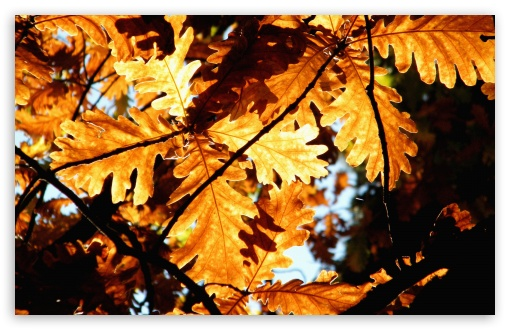 Rust Colored Oak Leaves ❤ 4K UHD Wallpaper for Wide 16:10 5:3 Widescreen WHXGA WQXGA WUXGA WXGA WGA ; 4K UHD 16:9 Ultra High Definition 2160p 1440p 1080p 900p 720p ; Standard 4:3 5:4 3:2 Fullscreen UXGA XGA SVGA QSXGA SXGA DVGA HVGA HQVGA ( Apple PowerBook G4 iPhone 4 3G 3GS iPod Touch ) ; Tablet 1:1 ; iPad 1/2/Mini ; Mobile 4:3 5:3 3:2 16:9 5:4 - UXGA XGA SVGA WGA DVGA HVGA HQVGA ( Apple PowerBook G4 iPhone 4 3G 3GS iPod Touch ) 2160p 1440p 1080p 900p 720p QSXGA SXGA ;