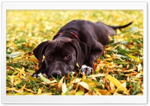 Sad Black Dog Autumn HD Wide Wallpaper for 4K UHD Widescreen desktop & smartphone
