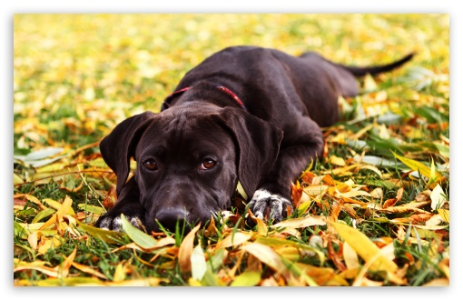 Sad Black Dog Autumn HD wallpaper for Wide 16:10 5:3 Widescreen WHXGA WQXGA WUXGA WXGA WGA ; HD 16:9 High Definition WQHD QWXGA 1080p 900p 720p QHD nHD ; Standard 4:3 5:4 3:2 Fullscreen UXGA XGA SVGA QSXGA SXGA DVGA HVGA HQVGA devices ( Apple PowerBook G4 iPhone 4 3G 3GS iPod Touch ) ; iPad 1/2/Mini ; Mobile 4:3 5:3 3:2 16:9 5:4 - UXGA XGA SVGA WGA DVGA HVGA HQVGA devices ( Apple PowerBook G4 iPhone 4 3G 3GS iPod Touch ) WQHD QWXGA 1080p 900p 720p QHD nHD QSXGA SXGA ;