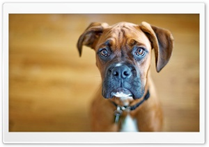 Sad Boxer Dog HD Wide Wallpaper for 4K UHD Widescreen desktop & smartphone