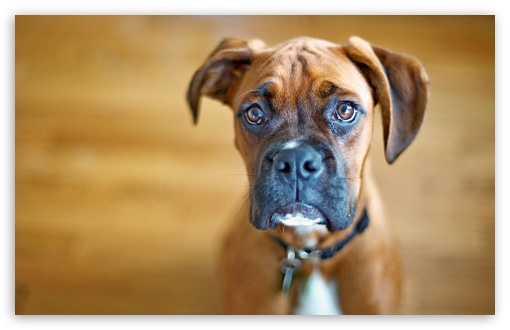 Sad Boxer Dog ❤ 4K UHD Wallpaper for Wide 16:10 5:3 Widescreen WHXGA WQXGA WUXGA WXGA WGA ; 4K UHD 16:9 Ultra High Definition 2160p 1440p 1080p 900p 720p ; Standard 4:3 5:4 3:2 Fullscreen UXGA XGA SVGA QSXGA SXGA DVGA HVGA HQVGA ( Apple PowerBook G4 iPhone 4 3G 3GS iPod Touch ) ; Tablet 1:1 ; iPad 1/2/Mini ; Mobile 4:3 5:3 3:2 16:9 5:4 - UXGA XGA SVGA WGA DVGA HVGA HQVGA ( Apple PowerBook G4 iPhone 4 3G 3GS iPod Touch ) 2160p 1440p 1080p 900p 720p QSXGA SXGA ;