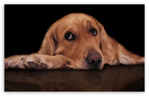Sad Dog HD wallpaper for Wide 16:10 5:3 Widescreen WHXGA WQXGA WUXGA WXGA WGA ; HD 16:9 High Definition WQHD QWXGA 1080p 900p 720p QHD nHD ; Standard 4:3 3:2 Fullscreen UXGA XGA SVGA DVGA HVGA HQVGA devices ( Apple PowerBook G4 iPhone 4 3G 3GS iPod Touch ) ; iPad 1/2/Mini ; Mobile 4:3 5:3 3:2 16:9 - UXGA XGA SVGA WGA DVGA HVGA HQVGA devices ( Apple PowerBook G4 iPhone 4 3G 3GS iPod Touch ) WQHD QWXGA 1080p 900p 720p QHD nHD ;