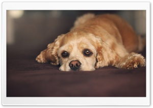 Sad Eyes Dog HD Wide Wallpaper for Widescreen