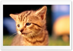 Sad Kitten Face HD Wide Wallpaper for 4K UHD Widescreen desktop & smartphone
