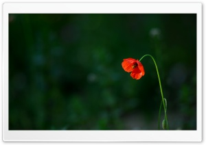 Sad Poppy HD Wide Wallpaper for Widescreen
