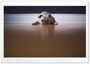 Saddest Pug Dog HD Wide Wallpaper for 4K UHD Widescreen desktop & smartphone
