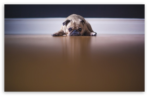 Saddest Pug Dog ❤ 4K UHD Wallpaper for Wide 16:10 5:3 Widescreen WHXGA WQXGA WUXGA WXGA WGA ; UltraWide 21:9 24:10 ; 4K UHD 16:9 Ultra High Definition 2160p 1440p 1080p 900p 720p ; UHD 16:9 2160p 1440p 1080p 900p 720p ; Standard 4:3 5:4 3:2 Fullscreen UXGA XGA SVGA QSXGA SXGA DVGA HVGA HQVGA ( Apple PowerBook G4 iPhone 4 3G 3GS iPod Touch ) ; Smartphone 16:9 3:2 5:3 2160p 1440p 1080p 900p 720p DVGA HVGA HQVGA ( Apple PowerBook G4 iPhone 4 3G 3GS iPod Touch ) WGA ; Tablet 1:1 ; iPad 1/2/Mini ; Mobile 4:3 5:3 3:2 16:9 5:4 - UXGA XGA SVGA WGA DVGA HVGA HQVGA ( Apple PowerBook G4 iPhone 4 3G 3GS iPod Touch ) 2160p 1440p 1080p 900p 720p QSXGA SXGA ; Dual 16:10 5:3 16:9 4:3 5:4 3:2 WHXGA WQXGA WUXGA WXGA WGA 2160p 1440p 1080p 900p 720p UXGA XGA SVGA QSXGA SXGA DVGA HVGA HQVGA ( Apple PowerBook G4 iPhone 4 3G 3GS iPod Touch ) ; Triple 16:10 5:3 16:9 4:3 5:4 3:2 WHXGA WQXGA WUXGA WXGA WGA 2160p 1440p 1080p 900p 720p UXGA XGA SVGA QSXGA SXGA DVGA HVGA HQVGA ( Apple PowerBook G4 iPhone 4 3G 3GS iPod Touch ) ;