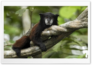 Saddle Back Tamarin Saguinus Fuscicollis Resting On Liana Pacaya Samiria National Park Peru HD Wide Wallpaper for Widescreen