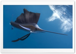 Sailfish HD Wide Wallpaper for 4K UHD Widescreen desktop & smartphone