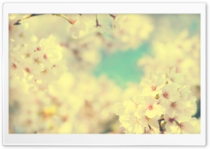 Sakura HD Wide Wallpaper for Widescreen