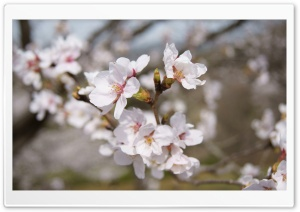 Sakura HD Wide Wallpaper for 4K UHD Widescreen desktop & smartphone
