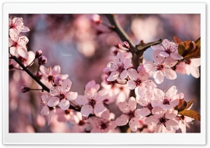 Sakura Ultra HD Wallpaper for 4K UHD Widescreen desktop, tablet & smartphone