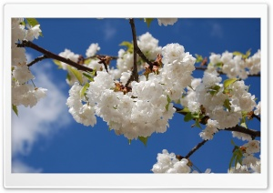 Sakura Against The Blue Sky HD Wide Wallpaper for Widescreen