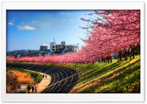Sakura Along The River HD Wide Wallpaper for Widescreen
