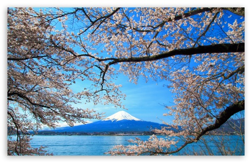 Sakura And Mount Fuji 4k Hd Desktop Wallpaper For 4k