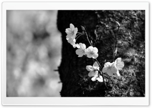 Sakura Black and White HD Wide Wallpaper for Widescreen