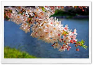 Sakura Blossom Branch HD Wide Wallpaper for Widescreen
