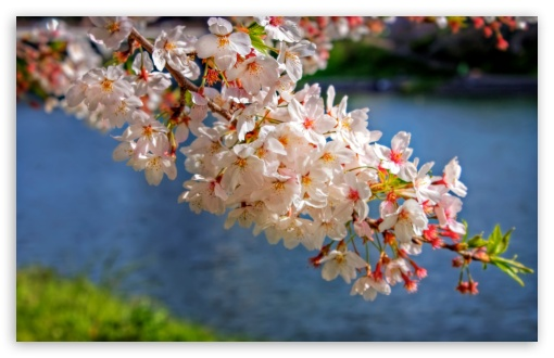 Sakura Blossom Branch HD wallpaper for Standard 4:3 5:4 Fullscreen UXGA XGA SVGA QSXGA SXGA ; Wide 16:10 5:3 Widescreen WHXGA WQXGA WUXGA WXGA WGA ; HD 16:9 High Definition WQHD QWXGA 1080p 900p 720p QHD nHD ; Other 3:2 DVGA HVGA HQVGA devices ( Apple PowerBook G4 iPhone 4 3G 3GS iPod Touch ) ; Mobile VGA WVGA iPhone iPad PSP Phone - VGA QVGA Smartphone ( PocketPC GPS iPod Zune BlackBerry HTC Samsung LG Nokia Eten Asus ) WVGA WQVGA Smartphone ( HTC Samsung Sony Ericsson LG Vertu MIO ) HVGA Smartphone ( Apple iPhone iPod BlackBerry HTC Samsung Nokia ) Sony PSP Zune HD Zen ; Tablet 2 Android 3 DVGA HVGA HQVGA devices ( Apple PowerBook G4 iPhone 4 3G 3GS iPod Touch ) ; Dual 4:3 5:4 16:10 5:3 16:9 UXGA XGA SVGA QSXGA SXGA WHXGA WQXGA WUXGA WXGA WGA WQHD QWXGA 1080p 900p 720p QHD nHD ;