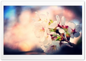 Sakura Blossoms HD Wide Wallpaper for Widescreen