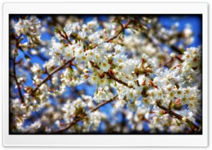 Sakura Branch HD Wide Wallpaper for Widescreen
