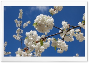 Sakura Branch With Flowers HD Wide Wallpaper for Widescreen