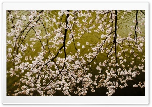 Sakura Branches HD Wide Wallpaper for Widescreen