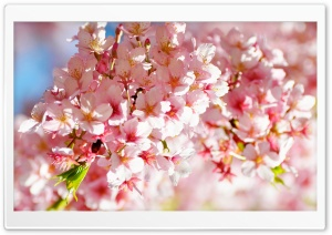 Sakura Flowers HD Wide Wallpaper for 4K UHD Widescreen desktop & smartphone