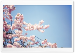 Sakura Flowers Branches HD Wide Wallpaper for Widescreen