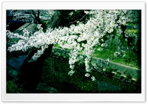 Sakura, Iga River Ultra HD Wallpaper for 4K UHD Widescreen desktop, tablet & smartphone