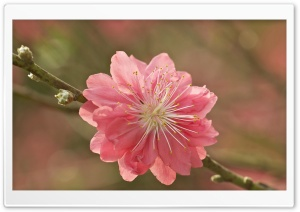 Sakura Macro Branch HD Wide Wallpaper for 4K UHD Widescreen desktop & smartphone