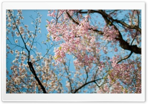 Sakura, Spring HD Wide Wallpaper for Widescreen