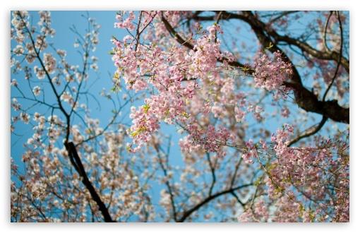 Sakura, Spring ❤ 4K HD Desktop Wallpaper for 4K Ultra HD TV • Wide