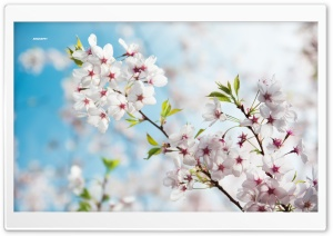Sakura, Spring Ultra HD Wallpaper for 4K UHD Widescreen desktop, tablet & smartphone