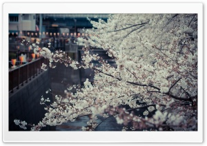 Sakura, Tokyo HD Wide Wallpaper for 4K UHD Widescreen desktop & smartphone