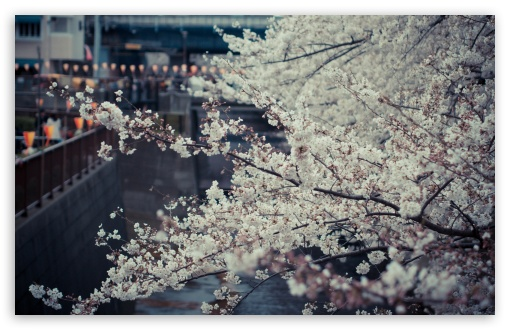 Sakura, Tokyo ❤ 4K UHD Wallpaper for Wide 16:10 5:3 Widescreen WHXGA WQXGA WUXGA WXGA WGA ; 4K UHD 16:9 Ultra High Definition 2160p 1440p 1080p 900p 720p ; Standard 4:3 5:4 3:2 Fullscreen UXGA XGA SVGA QSXGA SXGA DVGA HVGA HQVGA ( Apple PowerBook G4 iPhone 4 3G 3GS iPod Touch ) ; Tablet 1:1 ; iPad 1/2/Mini ; Mobile 4:3 5:3 3:2 16:9 5:4 - UXGA XGA SVGA WGA DVGA HVGA HQVGA ( Apple PowerBook G4 iPhone 4 3G 3GS iPod Touch ) 2160p 1440p 1080p 900p 720p QSXGA SXGA ;