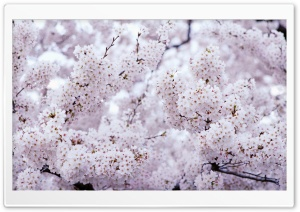Sakura Vintage HD Wide Wallpaper for Widescreen