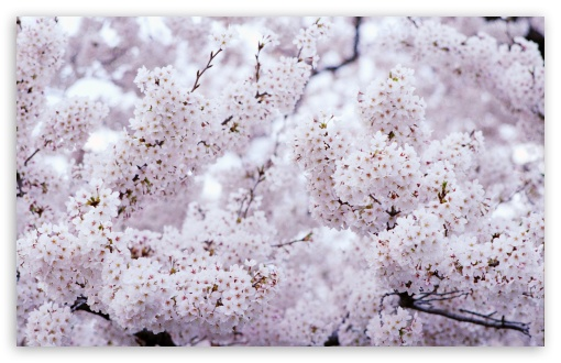 Sakura Vintage ❤ 4K UHD Wallpaper for Wide 16:10 5:3 Widescreen WHXGA WQXGA WUXGA WXGA WGA ; 4K UHD 16:9 Ultra High Definition 2160p 1440p 1080p 900p 720p ; Standard 4:3 5:4 3:2 Fullscreen UXGA XGA SVGA QSXGA SXGA DVGA HVGA HQVGA ( Apple PowerBook G4 iPhone 4 3G 3GS iPod Touch ) ; Smartphone 5:3 WGA ; Tablet 1:1 ; iPad 1/2/Mini ; Mobile 4:3 5:3 3:2 16:9 5:4 - UXGA XGA SVGA WGA DVGA HVGA HQVGA ( Apple PowerBook G4 iPhone 4 3G 3GS iPod Touch ) 2160p 1440p 1080p 900p 720p QSXGA SXGA ;